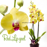 red-lip-geel
