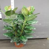 Ficus Elastica 'robusta' 30/180 3pp