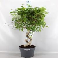 Ficus Benjamin Exotica 2pp 24/100