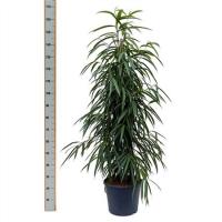 Ficus Alii 1pp 35/160