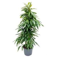 Ficus Amstel King 2pp 35/135