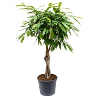 Ficus Amstel King 1pp Stam 35/140