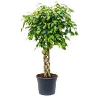 Ficus Be Exotica (4fibess38) 4pp