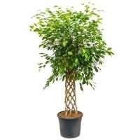 Ficus Be Exotica (4fibess17) 4pp