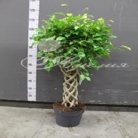 Ficus Benjamin special Shapes 24/110