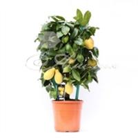 Citrus Lemon Cilinder 22/80