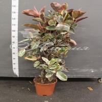 Фикус Ficus Elastica 'belize' 27/160