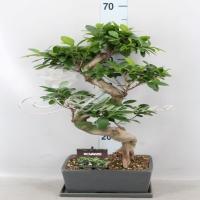 Ficus Microcarpa ginseng 25/60