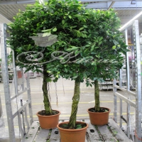 Ficus Benjamin 'nikita' 33/210