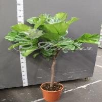 Фикус Ficus Lyrata Stam 30/150