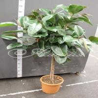 Фикус Ficus Elastica 'robusta' Stam 33/180