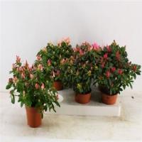 Азалия Rhododendron Mix